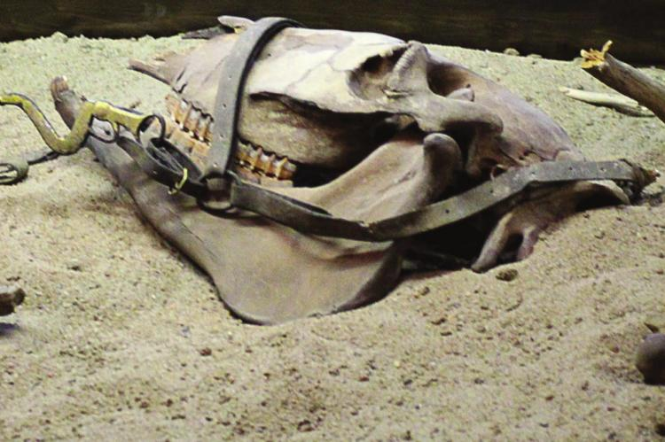 THIS SKULL belongs to the only casualty during the wreck of the Arabia, a mule that remained tied to a piece of equipment.